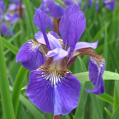 Iris 'Blue King' (sibirica)