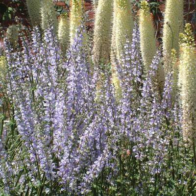 Salvia pratensis 'Haematodes'