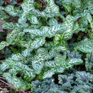 Arum italicum subsp. Italicum 'Marmoratum' ('Pictum') with cyclamen