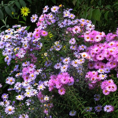 Aster laevis with Aster 'Alma Potschke'