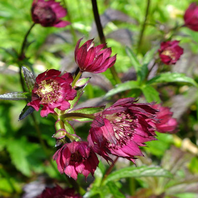 Astrantia Gill Richardson Group pale seedling