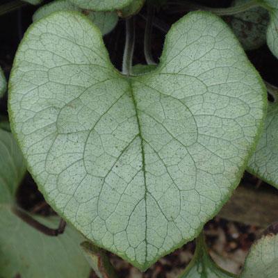 Brunnera macrophylla 'Looking Glass'