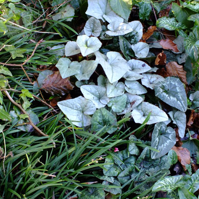 Cyclamen, Arum and Ophiopogon