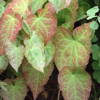 Epimedium perralchicum 'Wisley'
