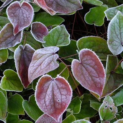 Epimedium warleyense frosted