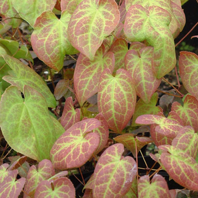 Epimedium versicolor 'Sulphureum' spring leaves