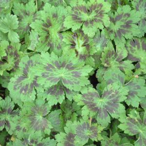 Geranium phaeum 'Samobor' leaves