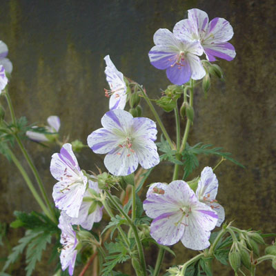 Geranium pratense 'Striatum' ('Splish Splash')