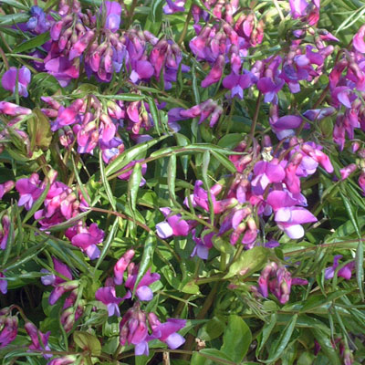 Lathyrus vernus - Spring Vetchling (purple-flowered)