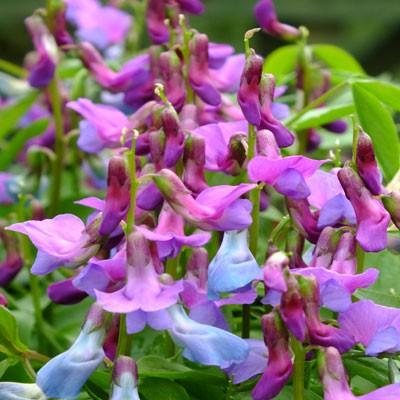 Lathyrus vernus - Spring Vetchling (purple-flowered)