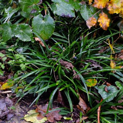 Ophiopogon planiscapus f. leucanthus