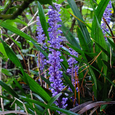 how to grow liriope muscari