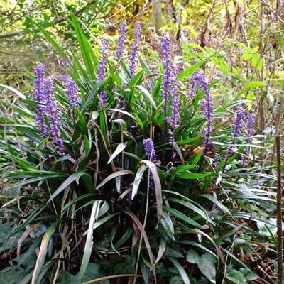 Liriope Muscari Big Blue Dorset Perennials