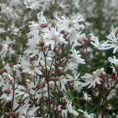 lychnis flos cuculi 39 white robin 39 dorset perennials. Black Bedroom Furniture Sets. Home Design Ideas
