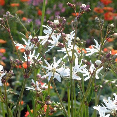 Lychnis flos-cuculi 'White Robin'