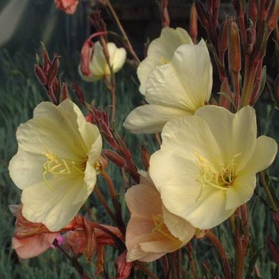 Oenothera stricta 'Sulphurea' (odorata)