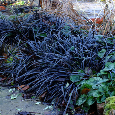 ophiopogon planiscapus 39 nigrescens 39 dorset perennials. Black Bedroom Furniture Sets. Home Design Ideas