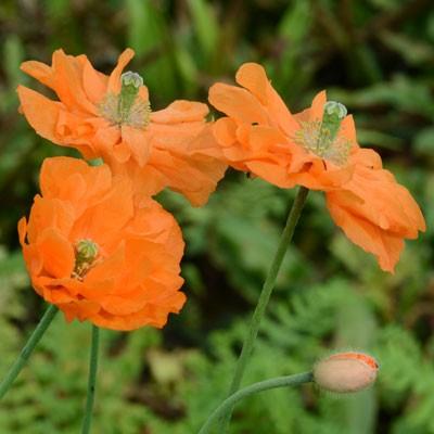 Papaver rupifragum 'Flore Pleno'