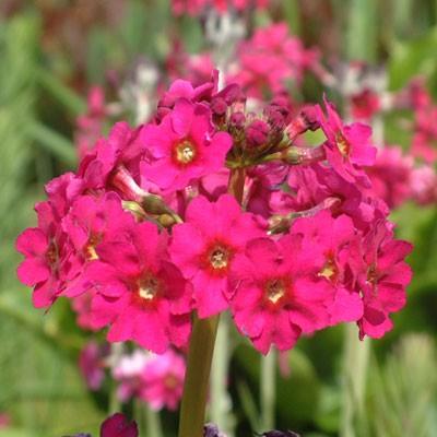 Primula japonica 'Carminea'