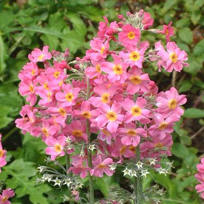Primula x bulleesiana mid pink