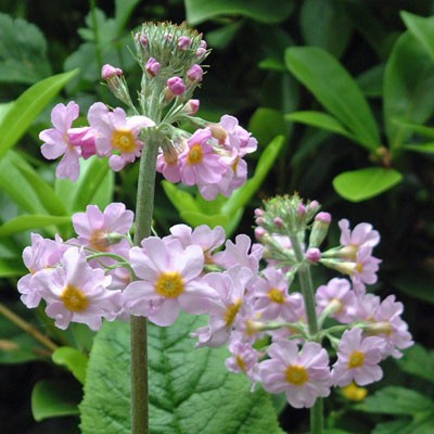 Primula x bulleesiana orange pale pink