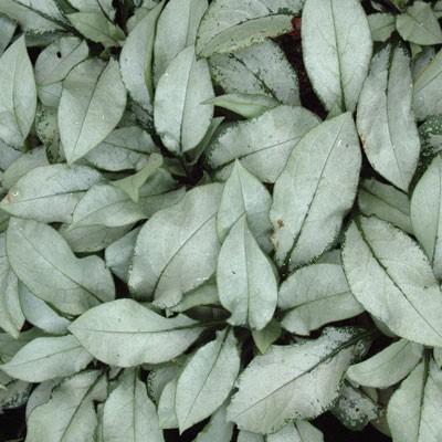 Pulmonaria 'Majeste' leaves