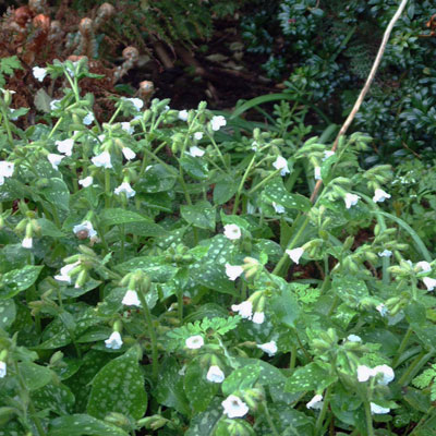 Pulmonaria Sissinghurst White'
