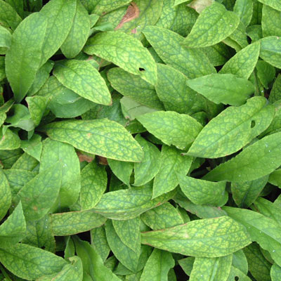 Pulmonaria rubra 'Redstart' leaves