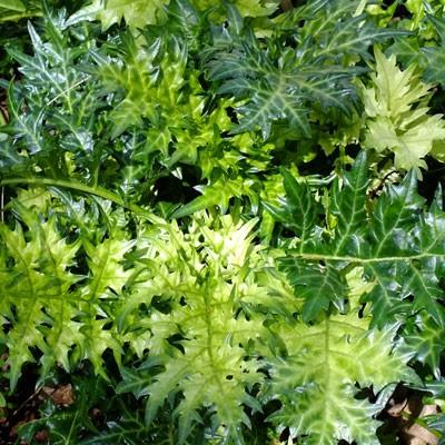 Acanthus Spinosus Lady Moore Dorset Perennials