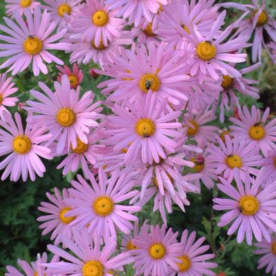 Chrysanthemum 'Clara Curtis'