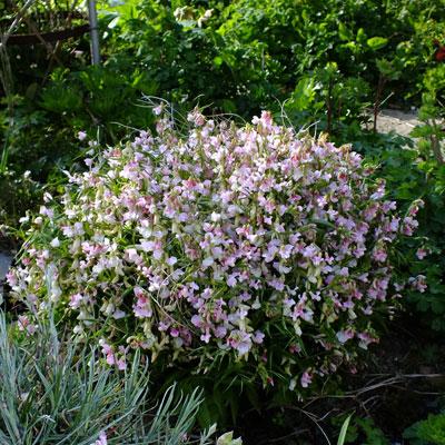 Lathyrus vernus 'Alboroseus' - Spring Vetchling