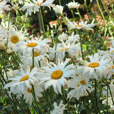 Leucanthemum x superbum 'Manhatten'