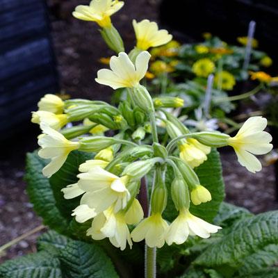 Primula elatior (oxlip)
