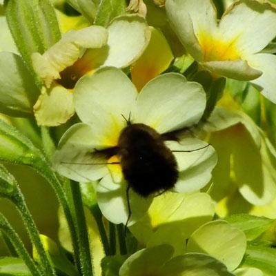 Primula elatior (oxlip) with bee fly
