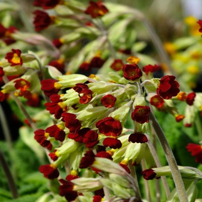 Primula veris 'Sunset Shades' (red cowslip)