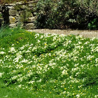Primula vulgaris (Primrose) at Mapperton Gardens