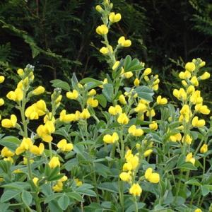 Thermopsis lupinoides (Thermopsis lanceolata)