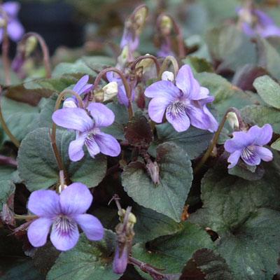 Viola riviniana Purpurea Group ( Viola labradorica )