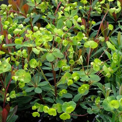 Euphorbia 'Efanthia'