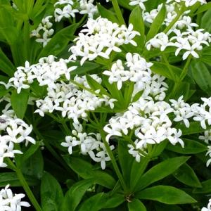 Galium odoratum (Sweet Woodruff)