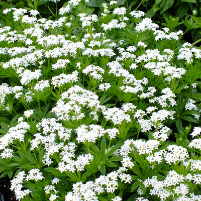 galium odoratum sweet woodruff dorset perennials. Black Bedroom Furniture Sets. Home Design Ideas