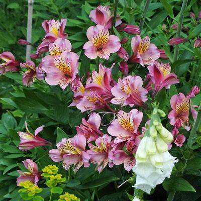 9cm Pot Alstroemeria /'Sunshine/' Deciduous Perennial Plant