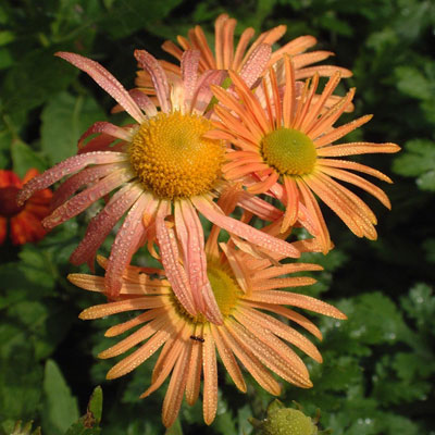 Chrysanthemum 'Mary Stoker'