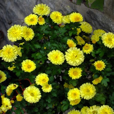 Chrysanthemum Nantyderry Sunshine Dorset Perennials