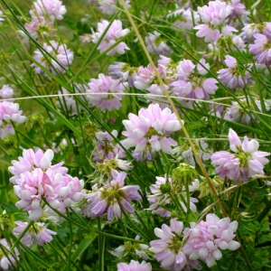 Coronilla varia (Crown Vetch)