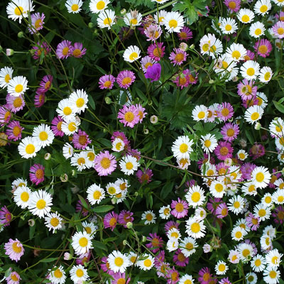 Erigeron-karvinskianus (Crazy daisy)
