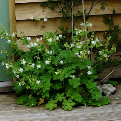 Geranium macrorrhizum 'White Ness' ('Mount Olympus')