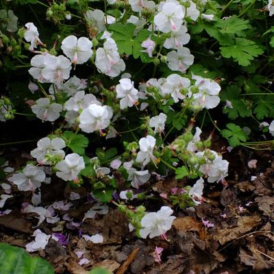 Geranium x cantabrigiense 'Harz'