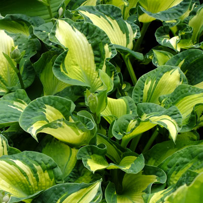 Hostas A Comparison Dorset Perennials
