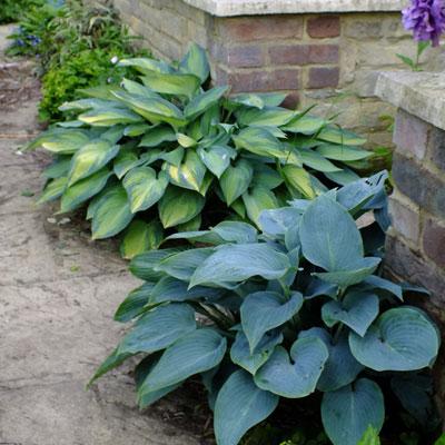 Hosta Halcyon Dorset Perennials